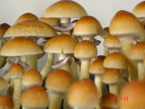 Magic Mushroom Hunters: Stropharia cubensis