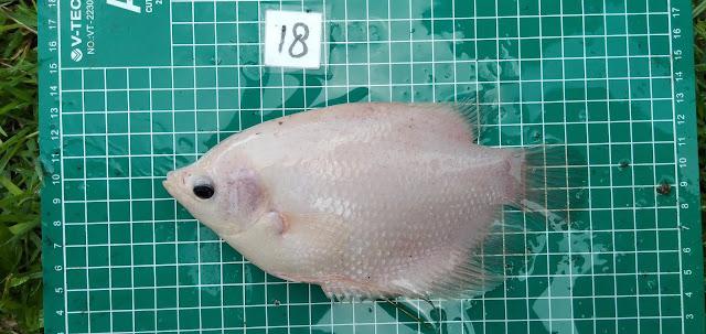 Klasifikasi dan Morfologi Ikan Gurami (Osphronemus goramy Lacepeda)