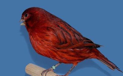 Mengenal Lebih Dekat Dan Ciri Ciri Burung Kenari Black Red Paling Lengkap