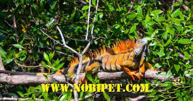 ban-iguana-reptiles-rong-nam-my-gia-re-da-nang-5