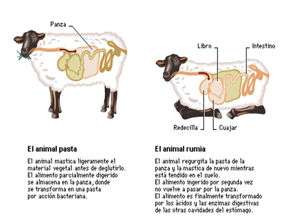 Del los animales estómago en función
