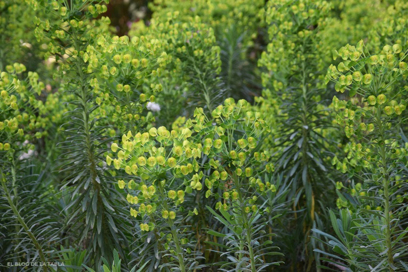 Flores de Euphorbia characias subsp. Wulfenii