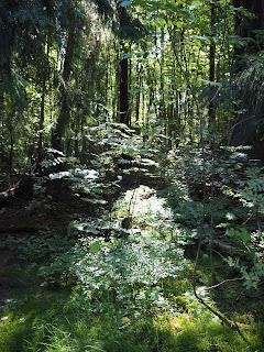 Bosc prop del camí a Sikosaarenpolku, Porvoo per Teresa Grau Ros