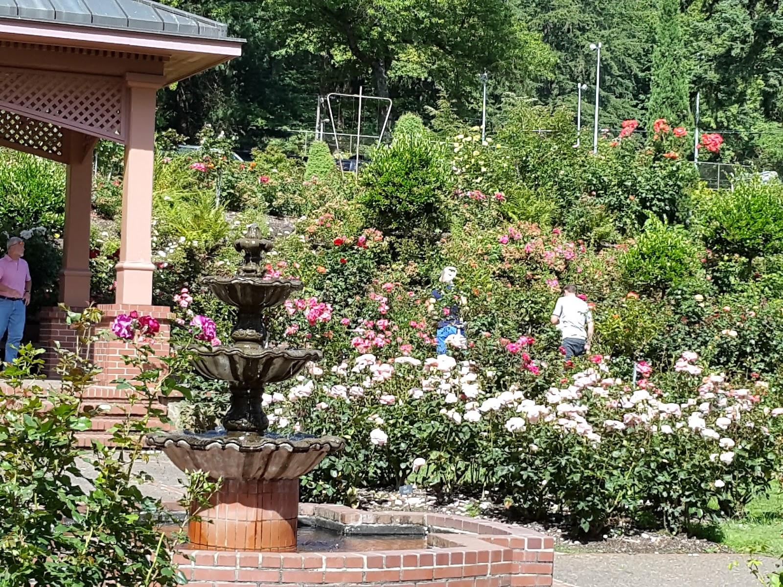 Plein Air Brooks Secret Rose painting at Rose Test Garden