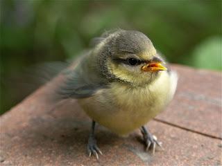 Herrerillo, pájaro de ciudad pollito