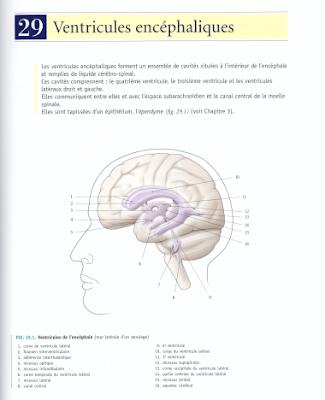 Télécharger Livre Gratuit Ventricules encéphaliques pdf
