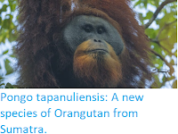 http://sciencythoughts.blogspot.co.uk/2017/11/pongo-tapanuliensis-new-species-of.html
