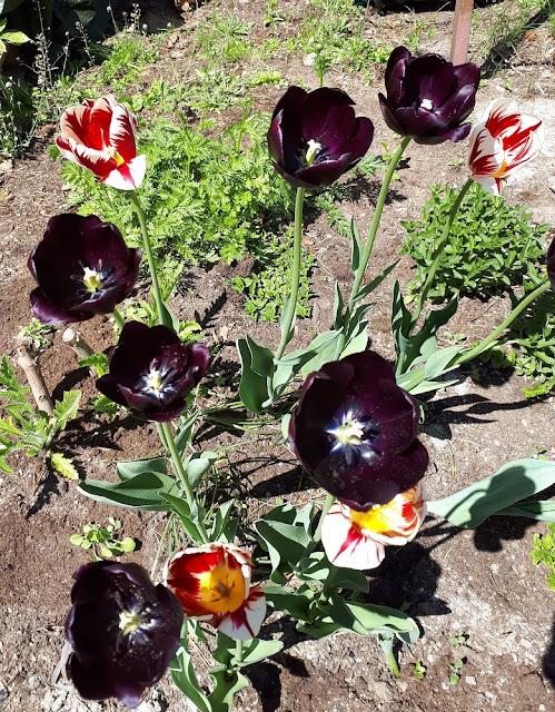 Tulppaanit kesäkuu