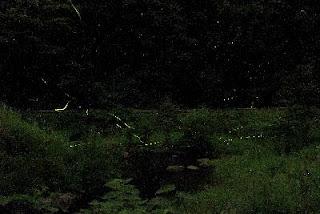 Firefly Festival in Nakadomari ホタルまつりinなかどまり