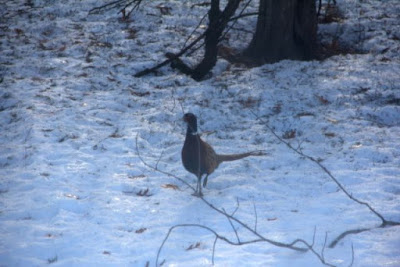 rooster pheasant in snow
