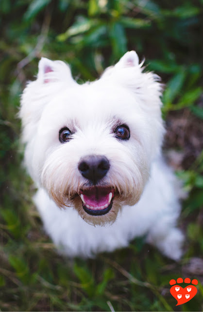 Adorable West Highland Terrier dog with a happy smile