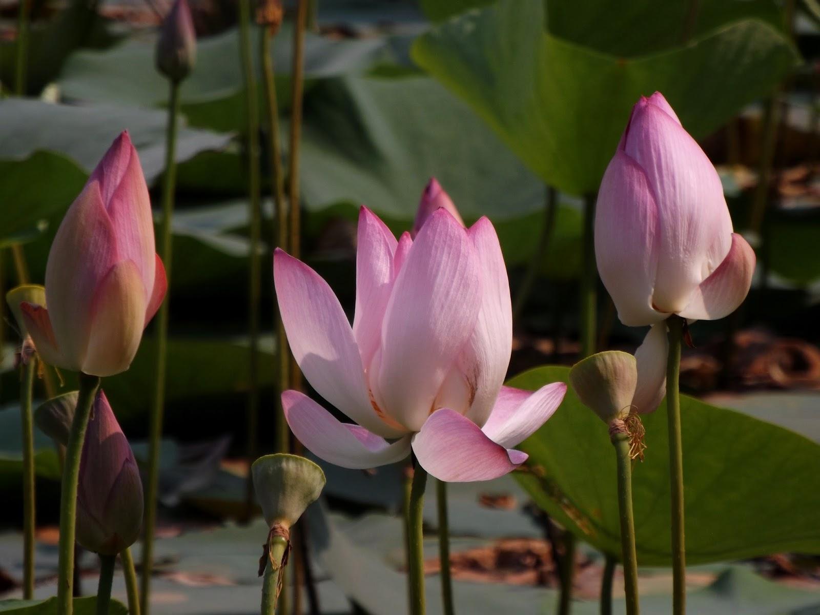 Padma Lotus Nelumbo Nucifera