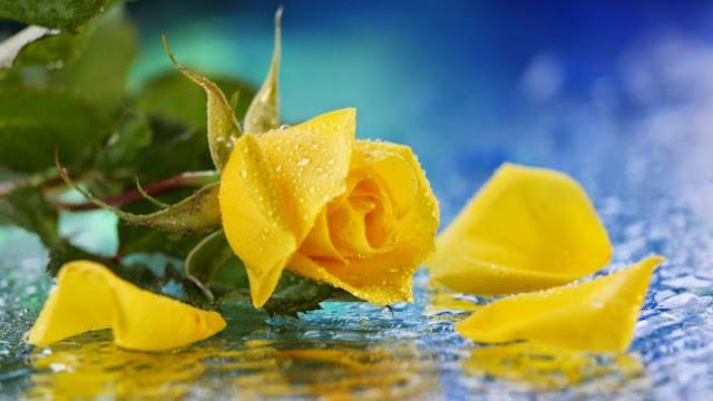 Hoa hồng giá 200000 một bông