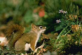 Animals Covered The Red Gray Fox Kaibab And Abert Squirrels