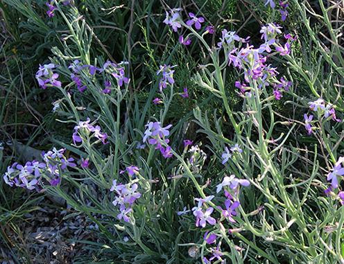 Oruga marítima (Cakile maritima) flor silvestre morada