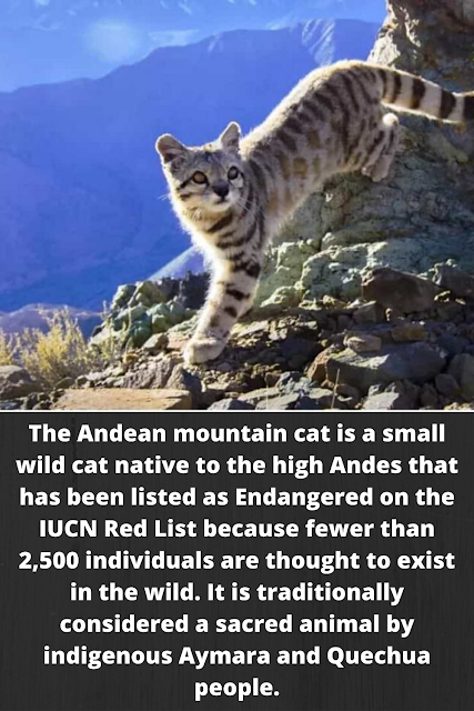 The Andean mountain cat is a small wild cat native to the high Andes that has been listed as Endangered on the IUCN Red List because fewer than 2,500 individuals are thought to exist in the wild. It is traditionally considered a sacred animal by indigenous Aymara and Quechua people.