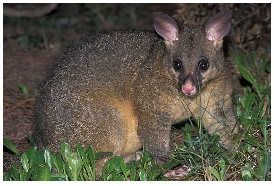 Are Possums Dangerous to Humans and Pets Check This