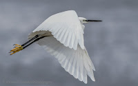 Vernon Chalmers Photography Little Egret in Flight Canon EOS 7D Mark II
