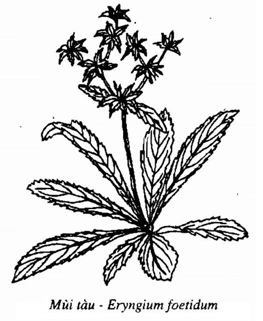 Hình vẽ Rau Mùi Tàu - Eryngium foetidum - Nguyên liệu làm thuốc Chữa Cảm Sốt