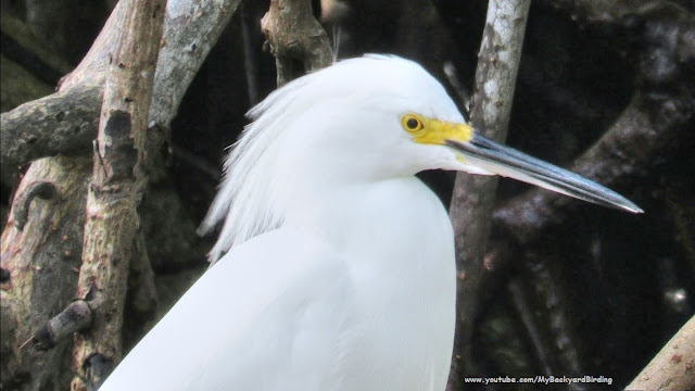 Snowy Egret in Florida