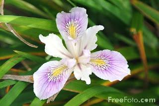 Image: Iris (c) FreeFoto.com