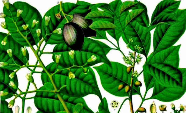 Palsahingin was likely named after the sahing or pili tree.  Image source:  Philippine Medicinal Plants.
