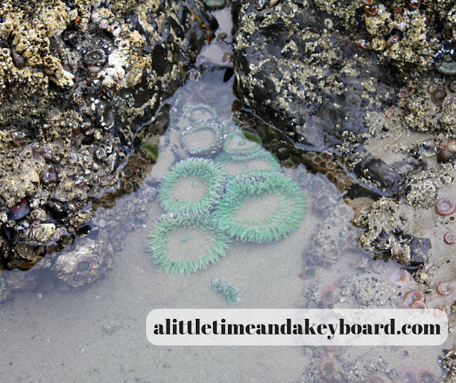 Sea anemones in a tide pool at Cape Meares National Wildlife Refuge in Oregon.