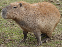 Capybara Animal Pictures