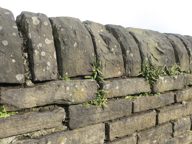 Ferns in a stone wall.