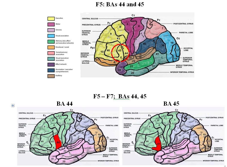 Charmant Menschliches Gehirn Diagramm Markiert Zeitgenössisch ...