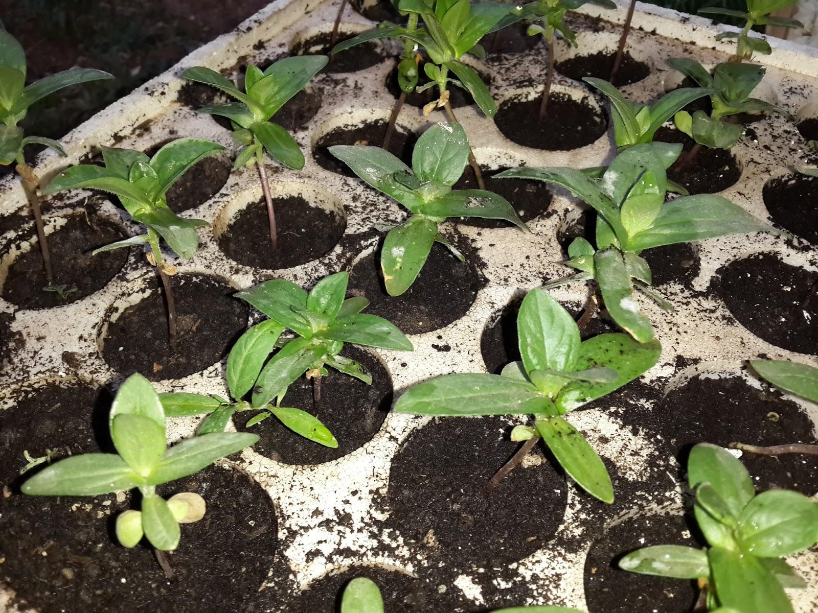 Tohumlardan Pyrethrum: Büyüyen ve Bakım 42