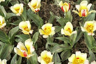 Tulipes kaufmanniana - Tulipa kaufmanniana Gluck - Tulipe Gluck