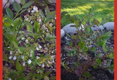 Hybridblåbär 'Northcountry'