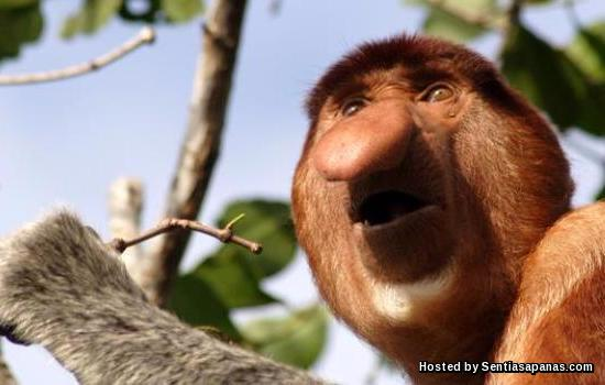 Monyet Proboscis (Nasalis larvatus)