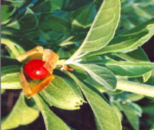 Ashwagandha Reduces Cortisol Levels