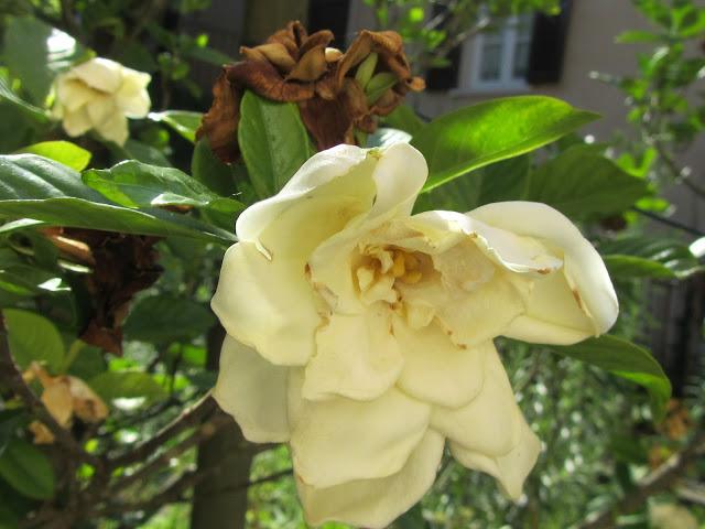 Fiore appassito Gardenia