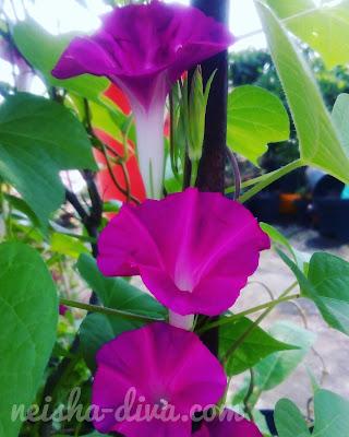 Morning Glory. (Rumah Bunga Neisha)
