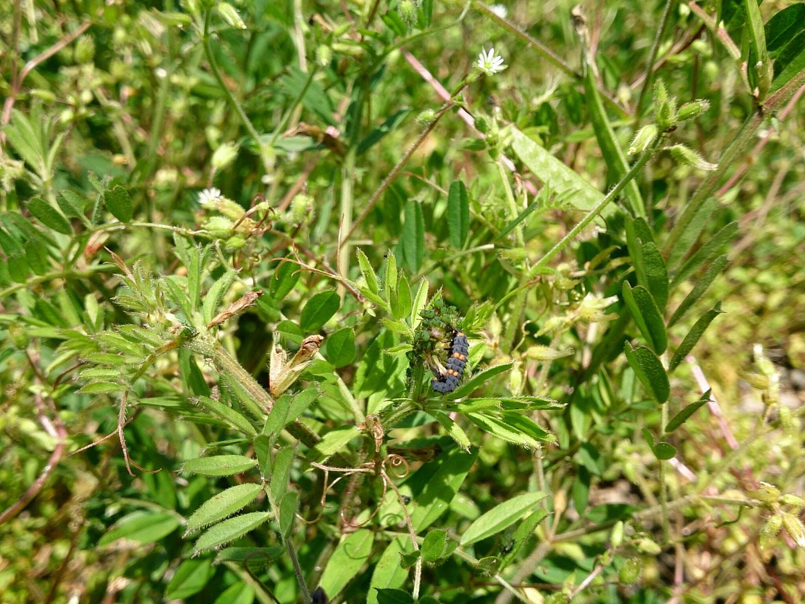 カラスノエンドウ:アブラムシとナナホシテントウの幼虫