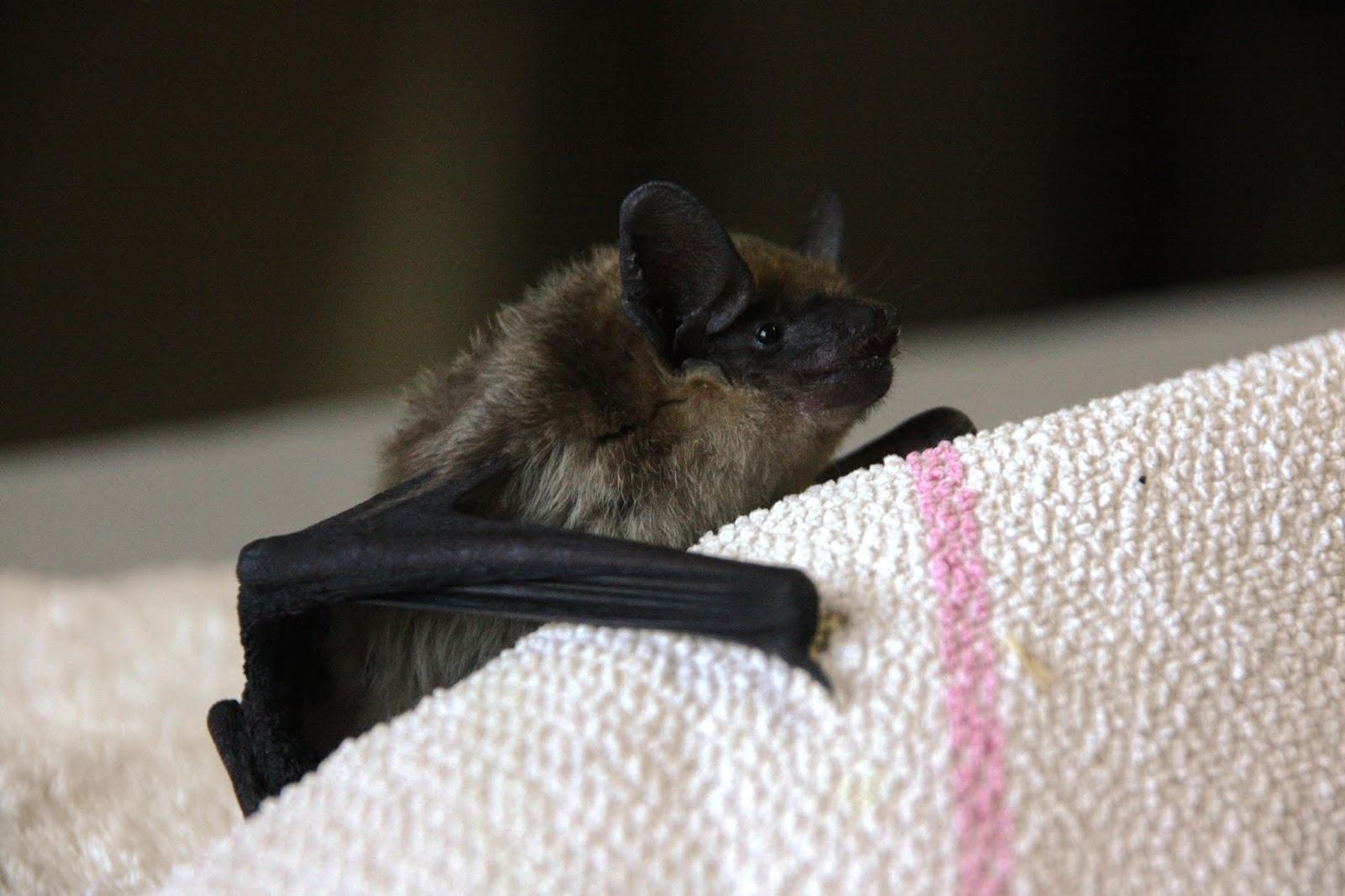 Uma nova espécie de mamífero em reabilitação no RIAS