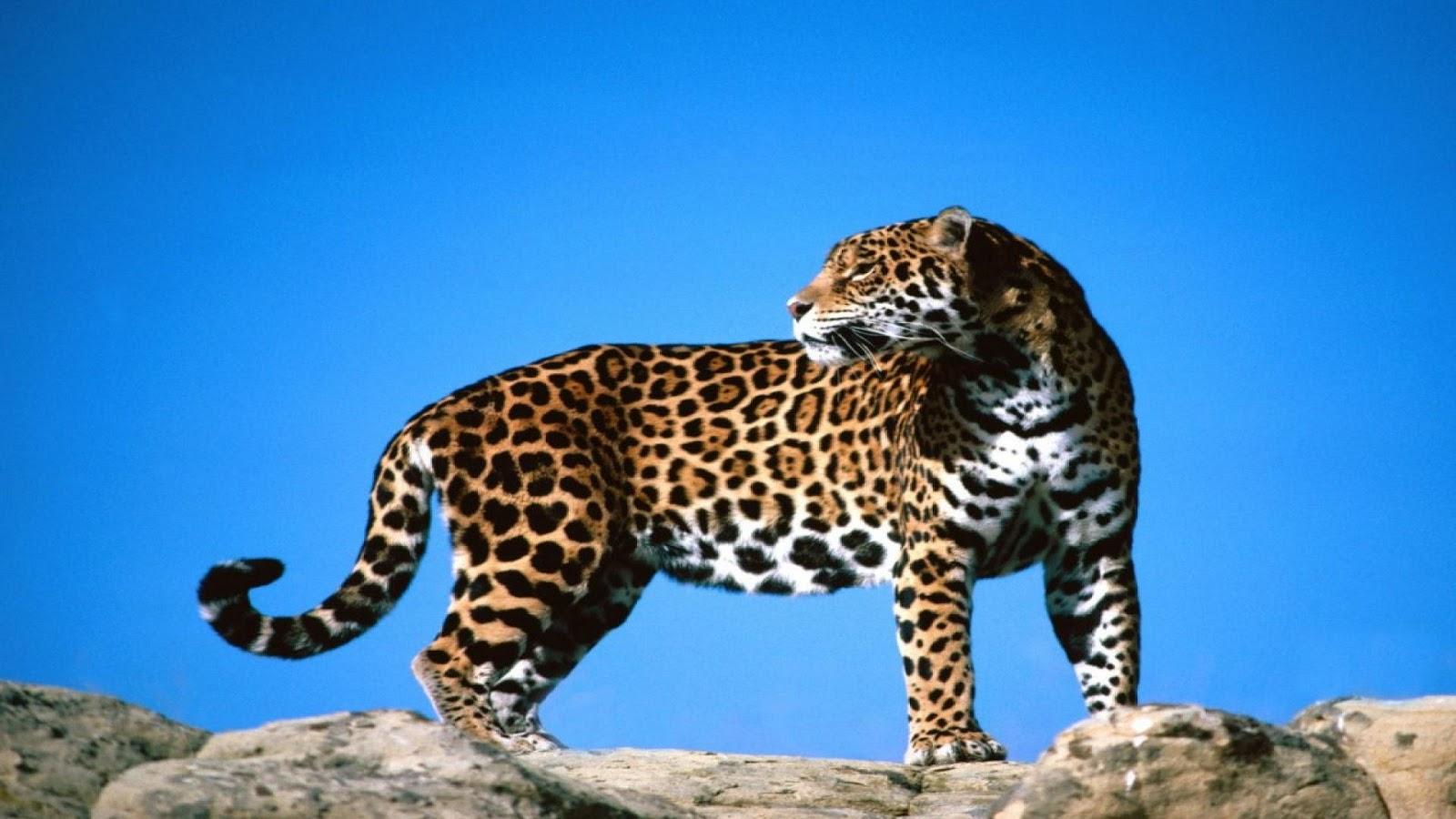 Download HD Wallpapers: Download Cheetah HD Wallpapers