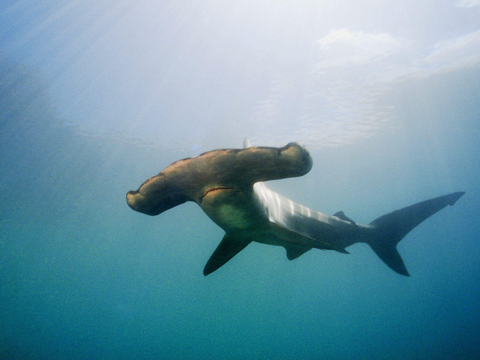 gambar ikan hiu  Indonesiadalamtulisan  Terbaru 2014