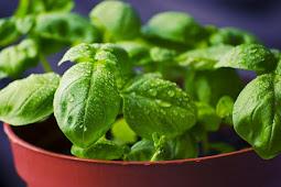 Manfaat mengkonsumsi daun kemangi untuk kesehatan tubuh