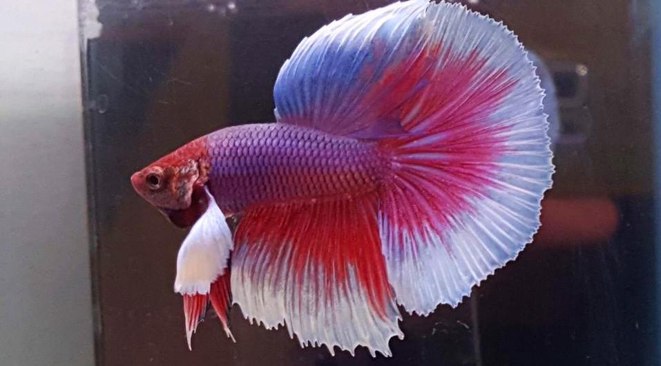 ikan cupang 5 warna ikan cupang 5000 ikan cupang harga 5000 ikan cupang smpn 5 mandai ikan cupang umur 5 bulan