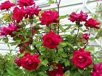 Manfaat tanaman Bunga Ros