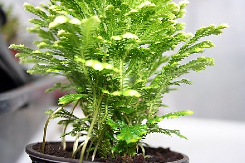 the fern lover how to care for frosty fern plants. Black Bedroom Furniture Sets. Home Design Ideas