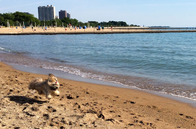 Dogs North Avenue Beach Chicago Rocco Havanese