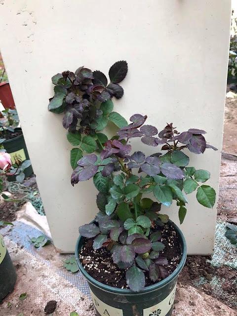 Nguồn ảnh: VƯỜN XINH-cây giống hoa hồng ngoại