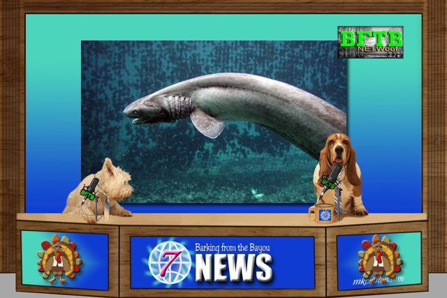 BFTB NETWoof News story rare shark on backscreen