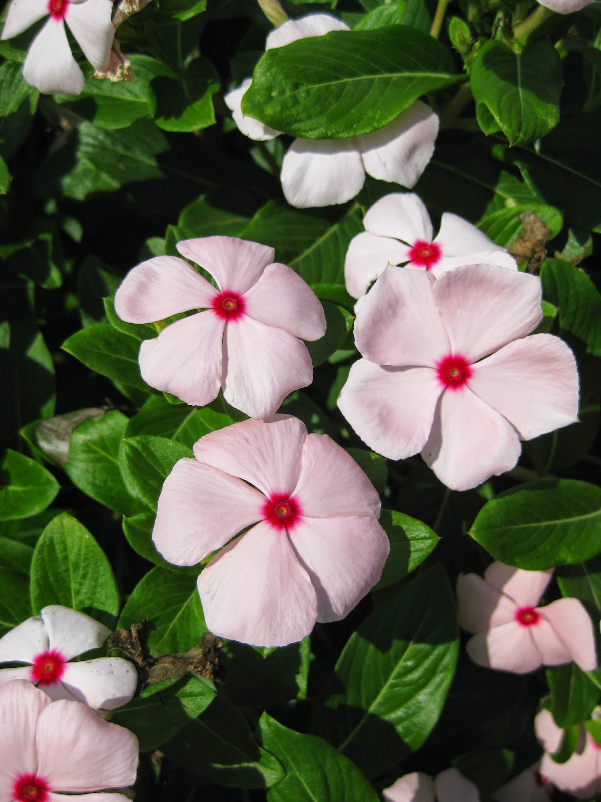 Annual Vinca (Catharanthus roseus) - Rotary Botanical Gardens