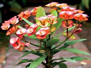 tanaman-hias-bunga-euphorbia